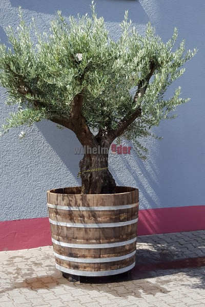 Olive tree in a flower pot